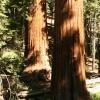 สนเรดวูด(dawn redwood) ซองละ 5 เมล็ด