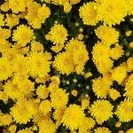 ดอกมัมสีเหลือง