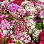 ดอกผีเสื้อ คละสี 50 เมล็ด/ชุด