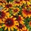 ดอกรู้ดเบ็กเกีย ซองละ 30 เมล็ด thumbnail 1