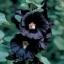 ดอกฮอลลี่ฮ็อคสีดำ ซองละ 10 เมล็ด thumbnail 1
