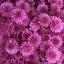 ดอกมัมสีชมพู ซองละ 30 เมล็ด thumbnail 1