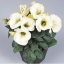 ดอกไลซิแอนธัส สีขาว 5 เมล็ด/ชุด thumbnail 1