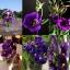 ดอกไลซิแอนธัส สีม่วง 5 เมล็ด/ชุด thumbnail 1