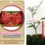 <<<<สั่งซื้อ>>>ต้นมะนาวคาเวียร์เสียบยอดสายพันธุ์ RainForest Pearl fingerlime Size S thumbnail 1