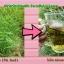ไผ่จืด ชนิดชงดื่ม (Pai-jued) thumbnail 1
