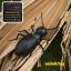 มดบังคับ Giant ant thumbnail 2