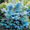 ดอก Azure Blue Cedar seeds / 10 เมล็ด