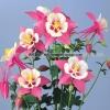 ดอก Zi Yan Aquilegia hardy perennial / 30 เมล็ด