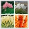 ดอก PAMPAS GRASS (สีม่วง) / 20 เมล็ด