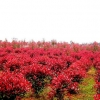 Photinia fraseri frasery serrulata Red tipluohu Flower / 5 เมล็ด