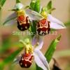 ดอกกล้วยไม้ผึ้ง Bee Orchid Flower Seed/ 5 เมล็ด