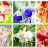 ดอก Fuchsia Perennial (Multicolor) / 20 เมล็ด