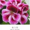 ดอก Geranium Pink / 30 เมล็ด