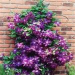 ดอก Clematis Purple Seeds (ม่วง) / 20 เมล็ด