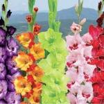 แกลดิโอลัส (คละสี) Gladiolus Mix / 30 เมล็ด