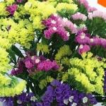 ดอก Limonium Seeds (คละสี) / 30 เมล็ด