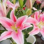 ดอก Lily Pink Lilium Brownii / 10 เมล็ด