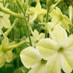 ดอก Tobacco yellow (เหลือง) / 20 เมล็ด