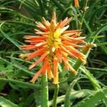 ว่านหางจระเข้ Aloe Seeds / 20 เมล็ด