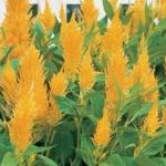 Celosia Plumosa Castle Yellow สร้อยไก่ คาสเซิล เยลโล่ /40 เมล็ด