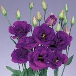ดอก Lisianthus Sapphire Purple(ม่วง) / 20 เมล็ด