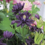 ดอก Clematis Black Seeds (ดำ) / 20 เมล็ด