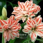 ดอก Amaryllis seeds / 10 เมล็ด