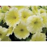 Petunia Multiflora Tornado Yellow พิทูเนีย มัลติฟลอร่า ทอร์นาโด เยลโล่/ 100 เมล็ด