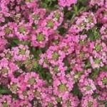 Alyssum Pink อลิสซั่ม พิงค์ / 100 เมล็ด