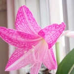 ดอก Las Vegas Hippeastrum Lily Seeds / 10 เมล็ด