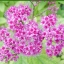 ดอก Hyssopus officinalis Mix Colour / 50 เมล็ด thumbnail 1
