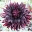 ดอกรักเร่สีดำแดง / 10 เมล็ด thumbnail 1