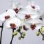 ดอก White Phalaenopsis Seeds / 10 เมล็ด thumbnail 1