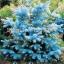ดอก Azure Blue Cedar seeds / 10 เมล็ด thumbnail 1