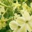 ดอก Tobacco yellow (เหลือง) / 20 เมล็ด thumbnail 1