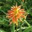 ว่านหางจระเข้ Aloe Seeds / 20 เมล็ด thumbnail 1