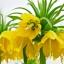ดอก Imperial Crown (Yellow) / 5 เมล็ด thumbnail 1
