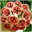 ดอก Hoya Carnosa Flower Seed / 10 เมล็ด thumbnail 1