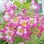 ดอกชิซานตัส Schizanthus : Mix / 50 เมล็ด thumbnail 1