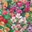 ดอก Peruvian lily alstroemeria / 10 เมล็ด thumbnail 1