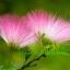 ดอก Albizia Julibrissin Tree (ชมพู) / 10 เมล็ด thumbnail 1