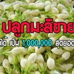 (สุุดยอดเกษตรยุคใหม่) ปลูกมะลิขายเดือนล่ะ1,000,000 บาทไปดูกันเลย
