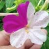 เมล็ดดอกบานเย็นคละสี