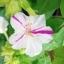 เมล็ดดอกบานเย็นคละสี thumbnail 4