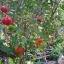 มะยมแดง thumbnail 2