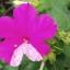 เมล็ดดอกบานเย็นคละสี thumbnail 2