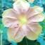 เมล็ดดอกบานเย็นคละสี thumbnail 7