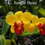 C. Jungle Beau (แคทลียา จังเกิล บิว) / BS