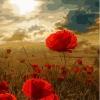 """MG601 ภาพระบายสีตามตัวเลข """"ทุ่งดอกไม้แดงในแสงตะวัน"""""""
